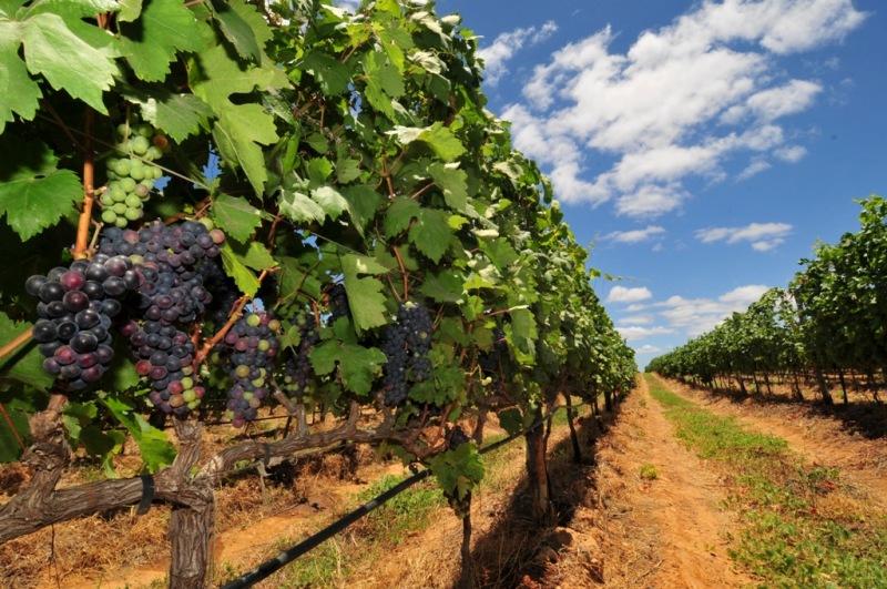 O cooperativismo na produção de vinho